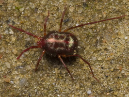Erythraeidae sp. ? 1567