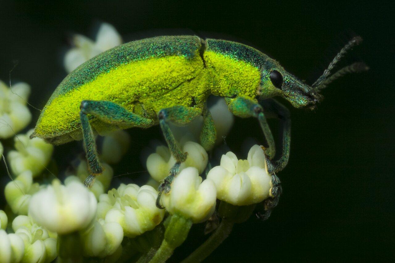 Chlorophanus-viridis-1570.jpg