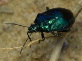 Zicrona caerulea · mėlynoji skydblakė