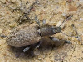 Tanymecus palliatus · pilkasis runkelinis straubliukas