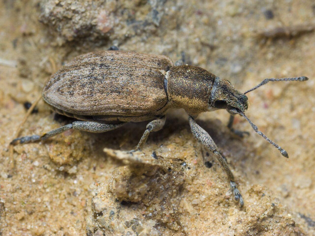 Tanymecus-palliatus-1580.jpg
