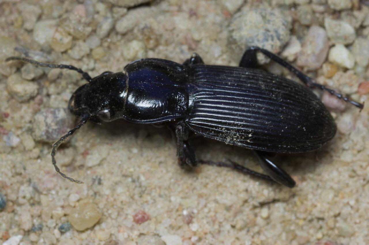 Carabidae-1582.jpg
