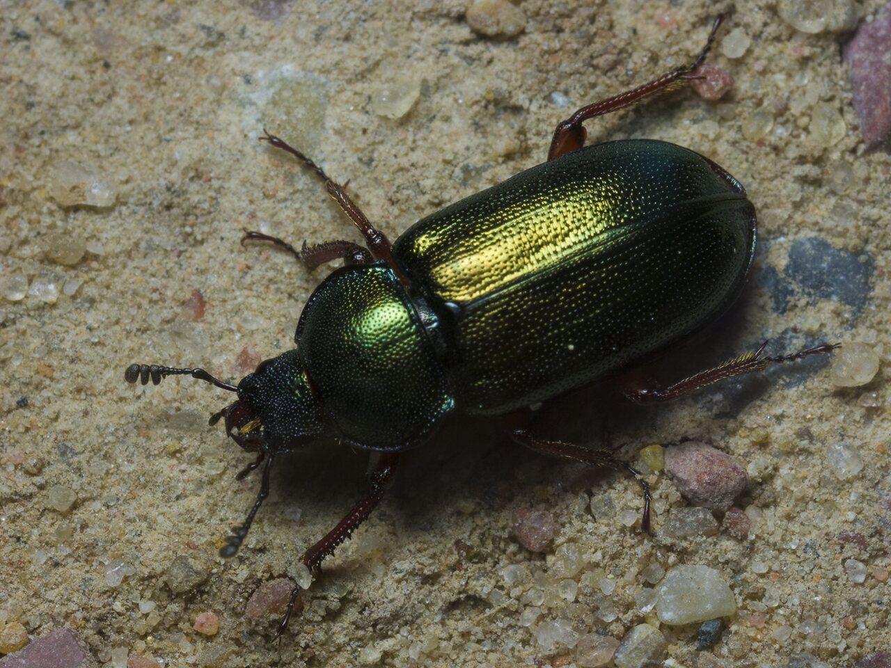 Platycerus-caraboides-1591.jpg