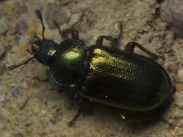 Platycerus caraboides female · žygiškasis elniavabalis ♀