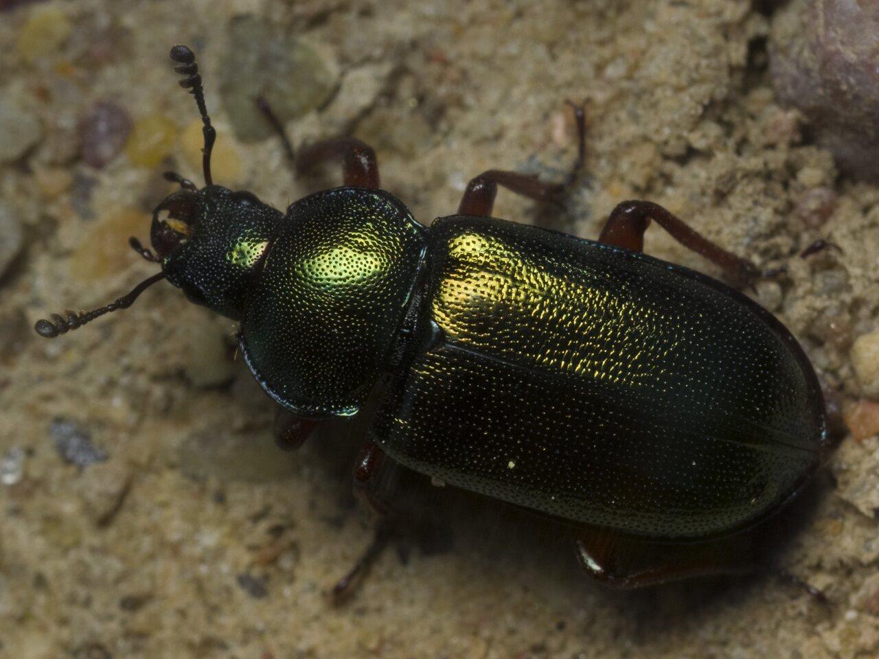 Platycerus-caraboides-1592.jpg