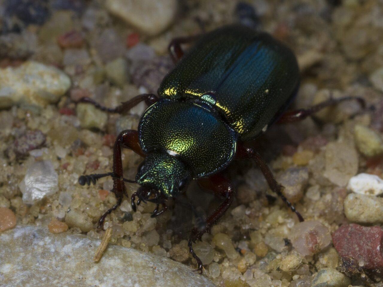 Platycerus-caraboides-1593.jpg