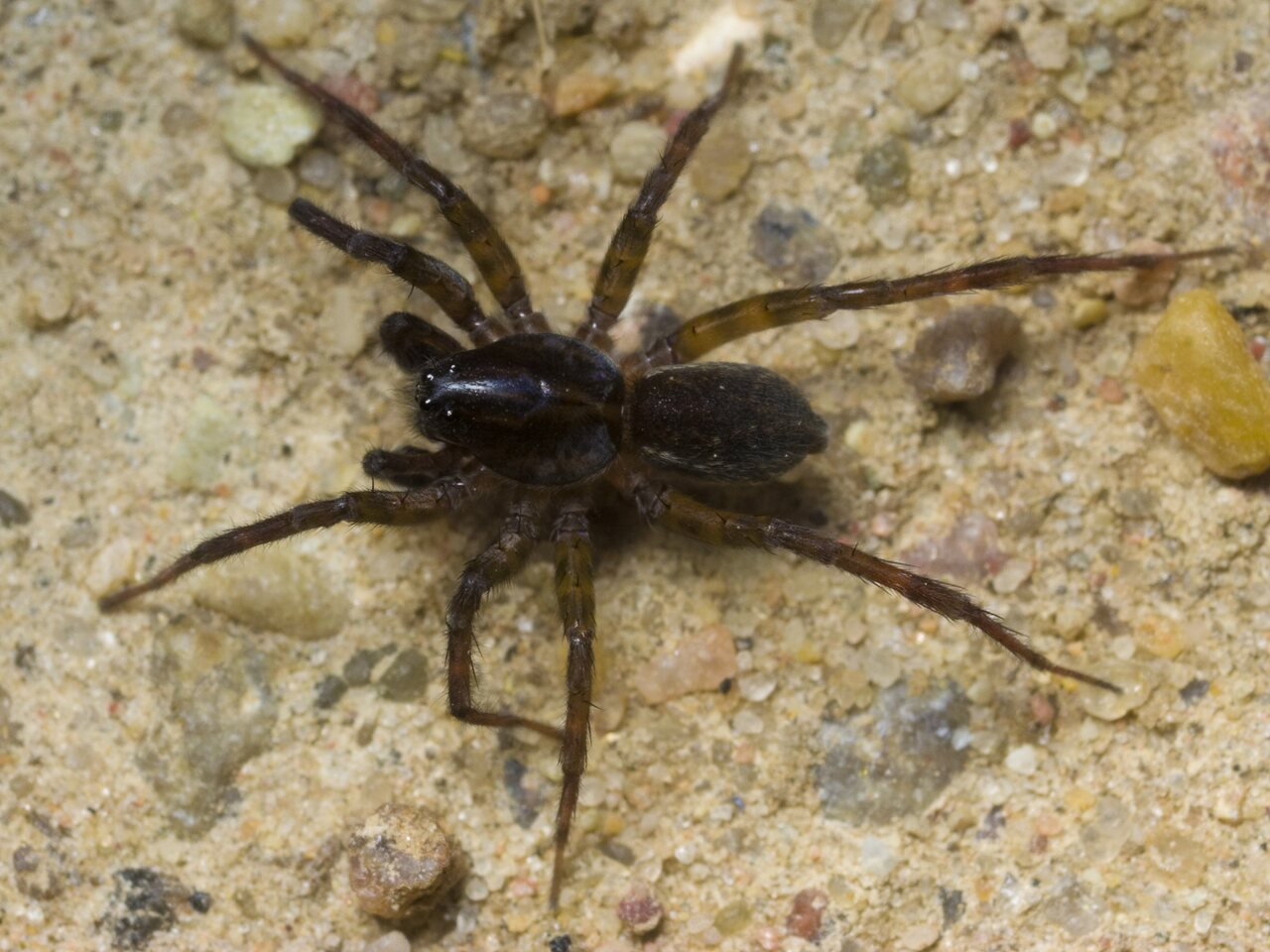Lycosidae-1602.jpg