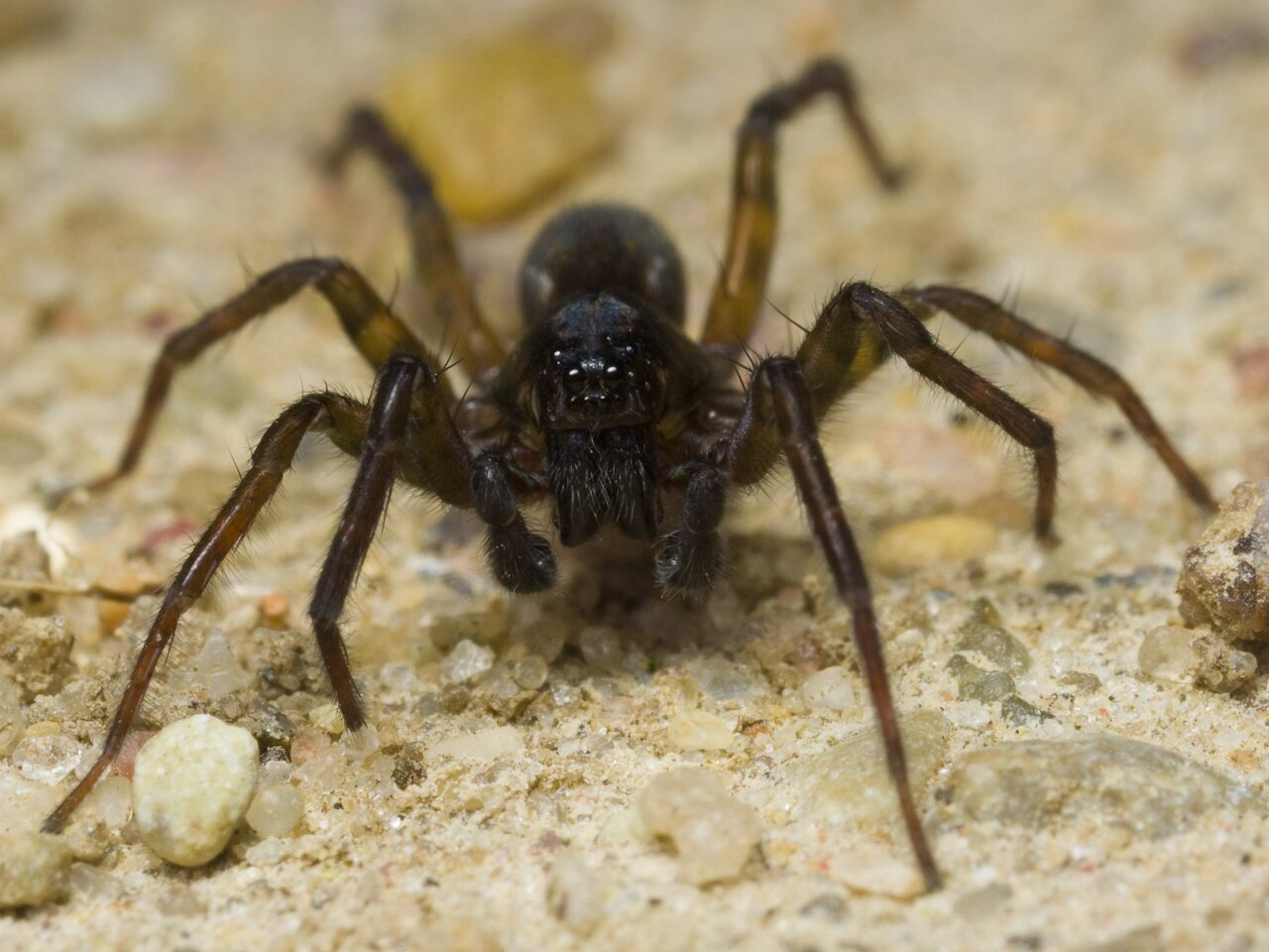 Lycosidae-1604.jpg