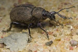 Otiorhynchus ligustici · liucerninis pjovėjas