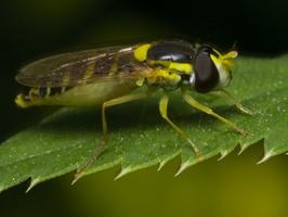 Sphaerophoria sp. female · žiedmusė ♀