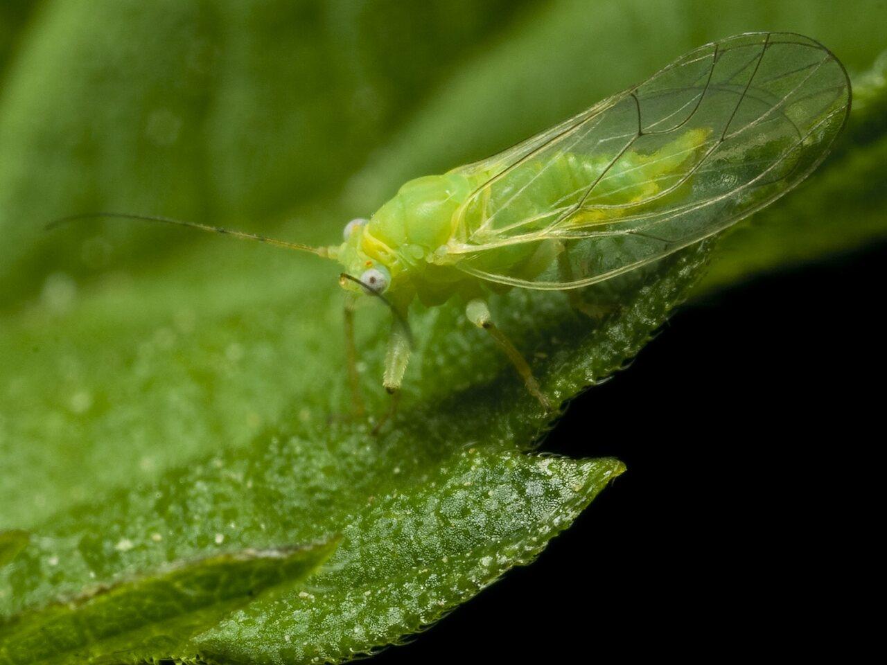 Aphidoidea-1635.jpg
