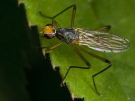 Micropezidae · kojūkakojės musės