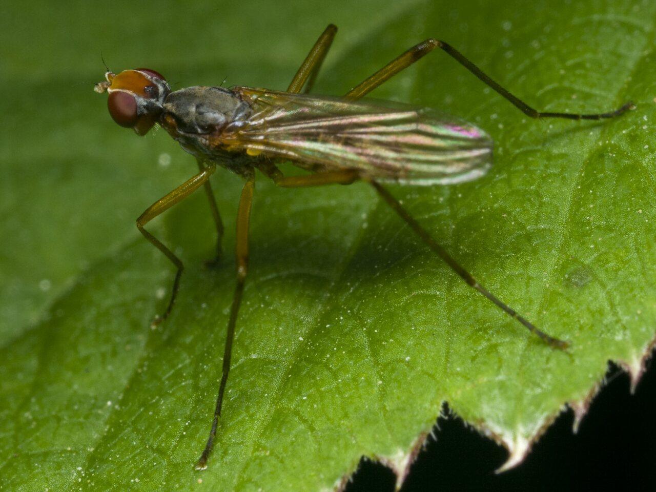 Diptera-1637.jpg