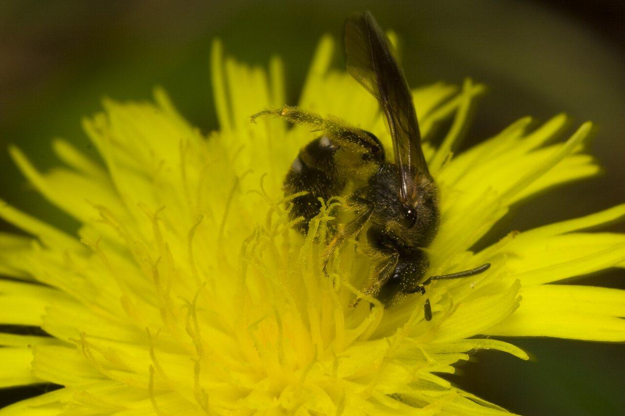 Apidae-1648.jpg