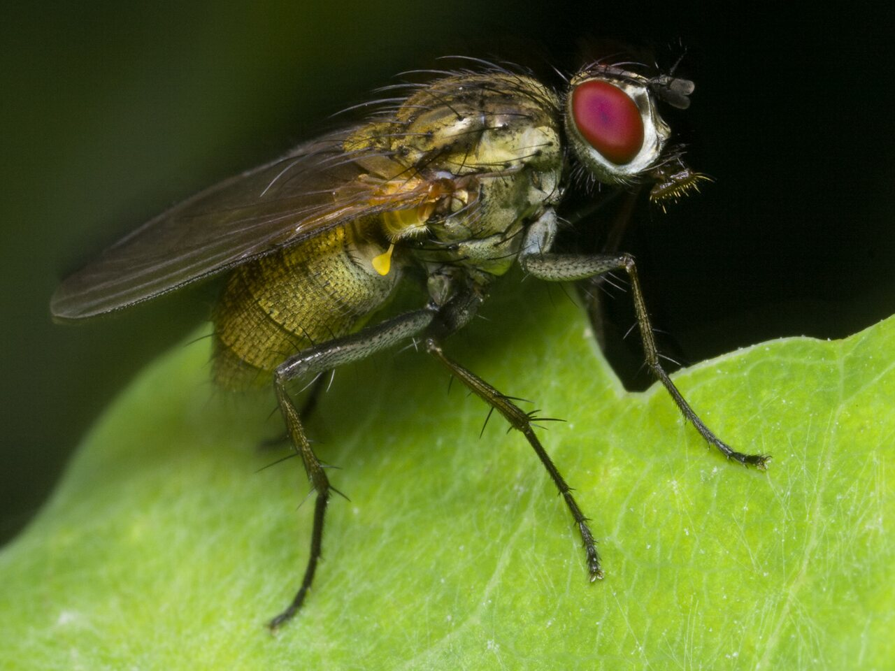 Diptera-1661.jpg