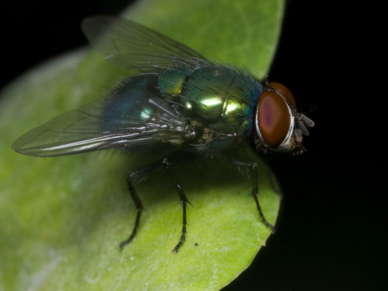 Diptera-1666.jpg