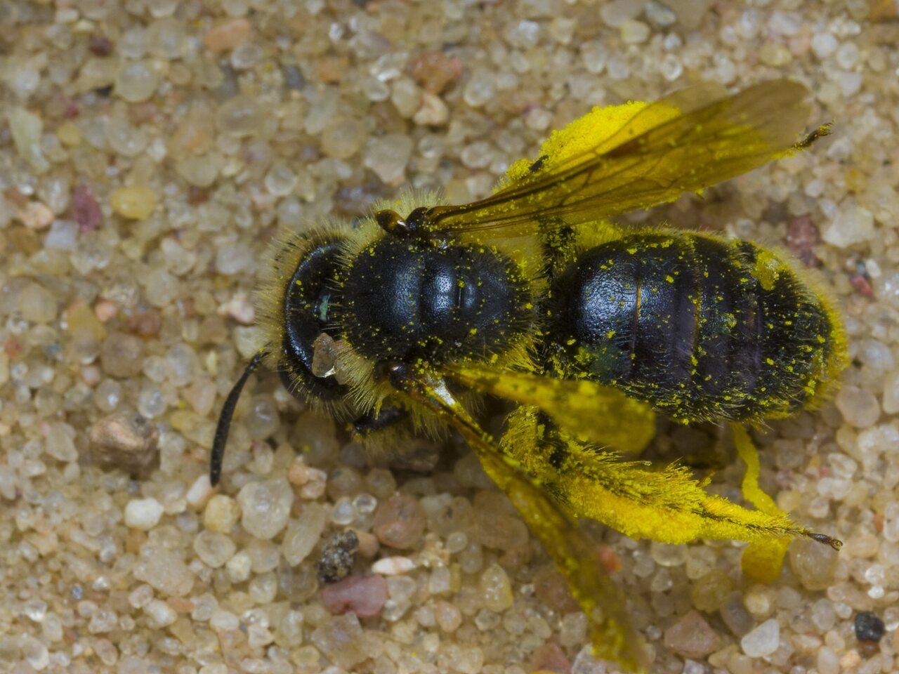 Apidae-1676.jpg