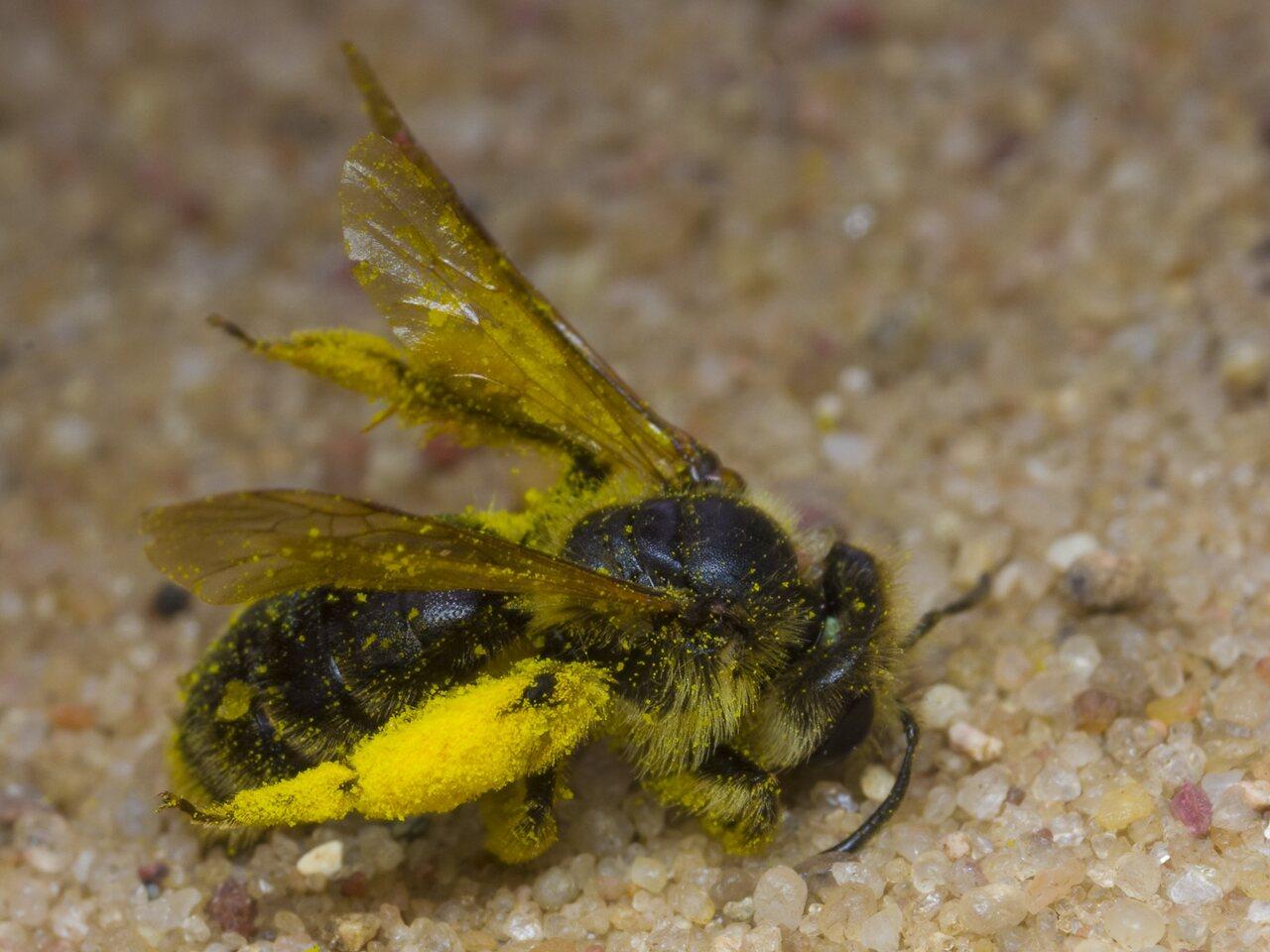 Apidae-1677.jpg