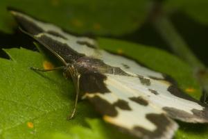 Lomaspilis marginata · paprastasis margasprindis