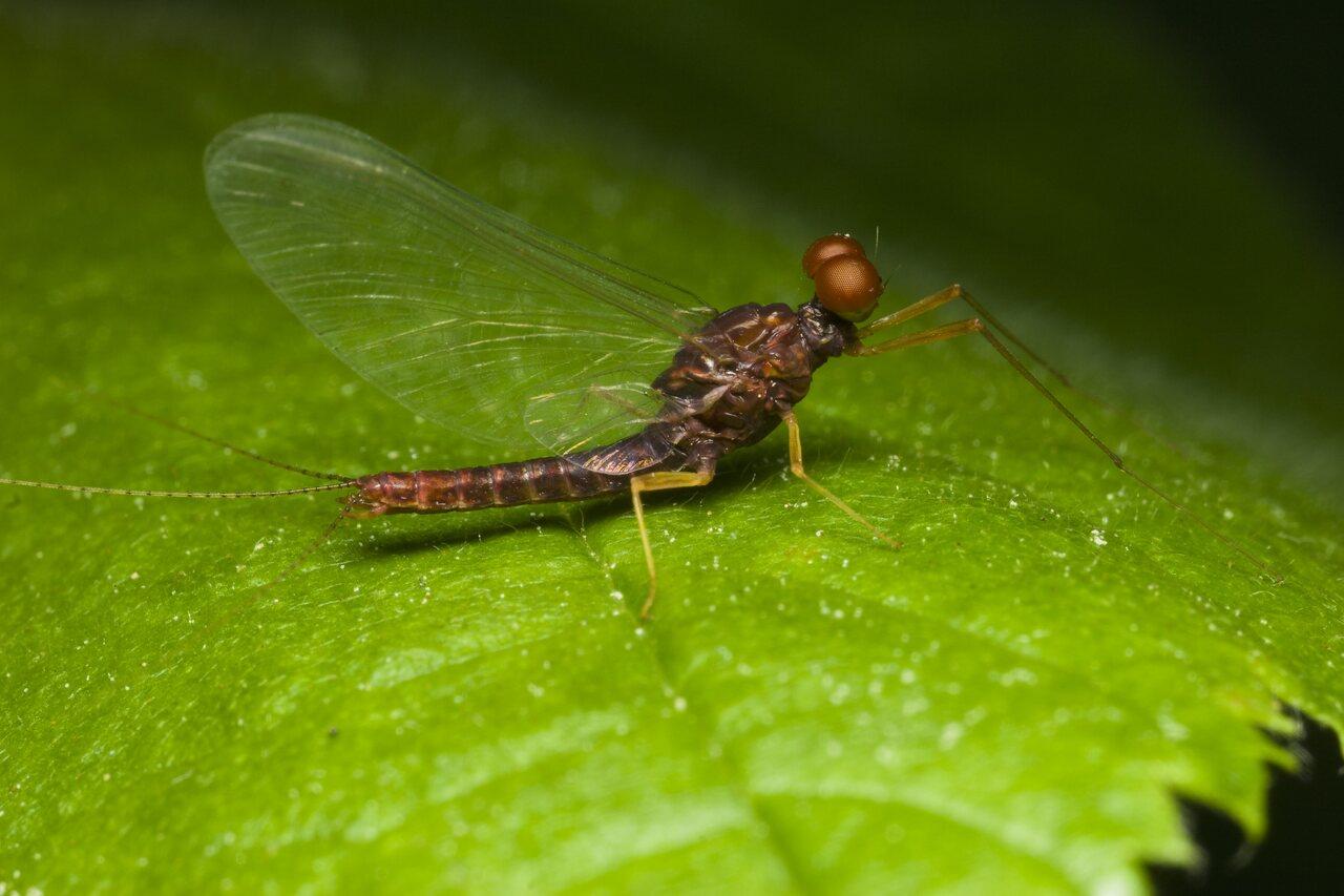 Ephemeroptera-1715.jpg