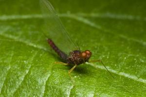 Ephemeroptera · lašalas