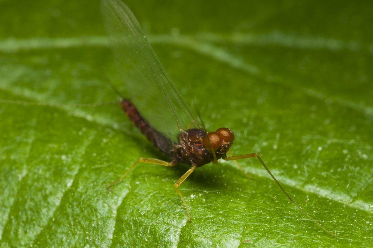 Ephemeroptera-1716.jpg