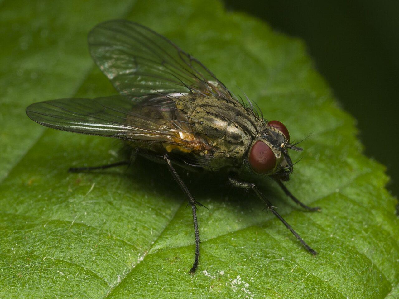 Diptera-1718.jpg