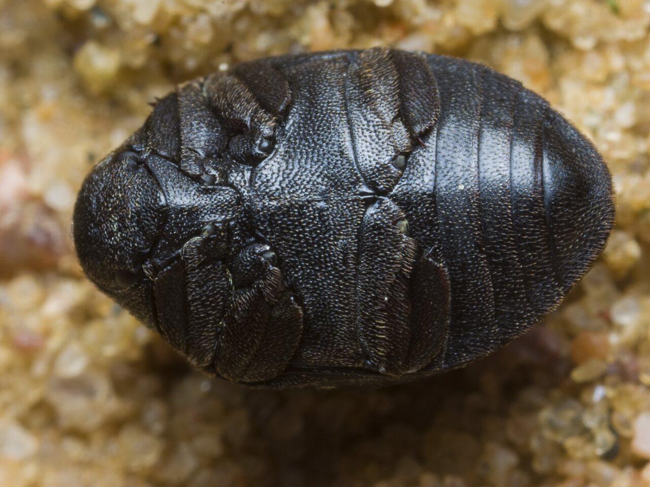 Byrrhidae-1737.jpg