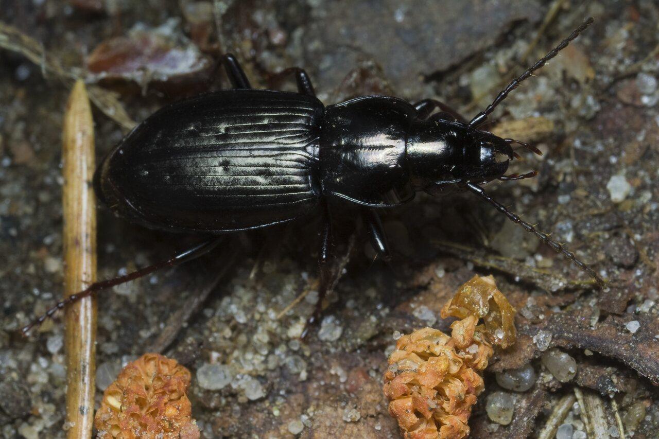 Carabidae-1742.jpg