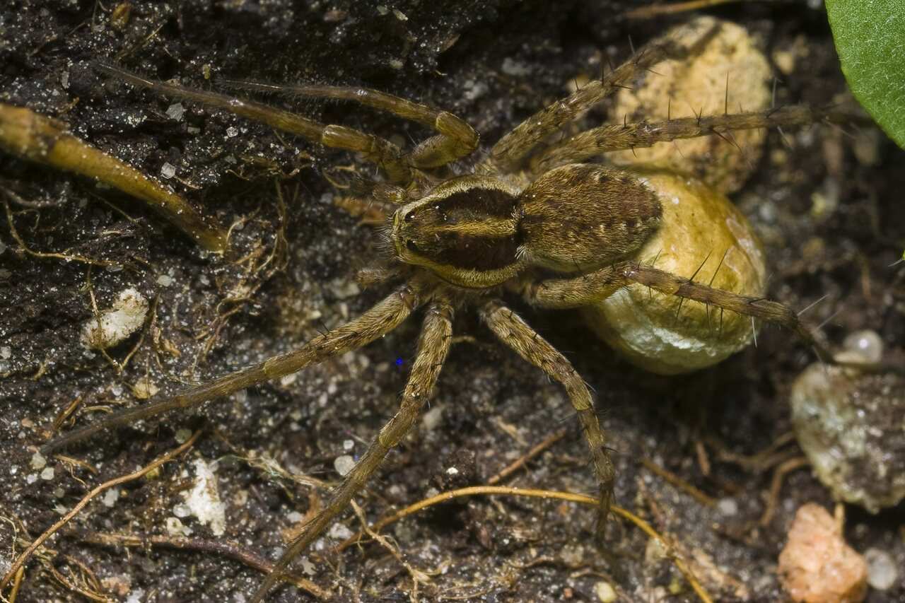 Lycosidae-1754.jpg