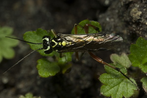 Pachyprotasis variegata · pjūklelis