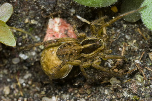 Lycosidae · plėšriavoris