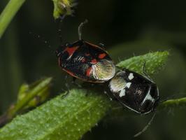 Eurydema oleracea copula · rapsinė skydblakė poruojasi