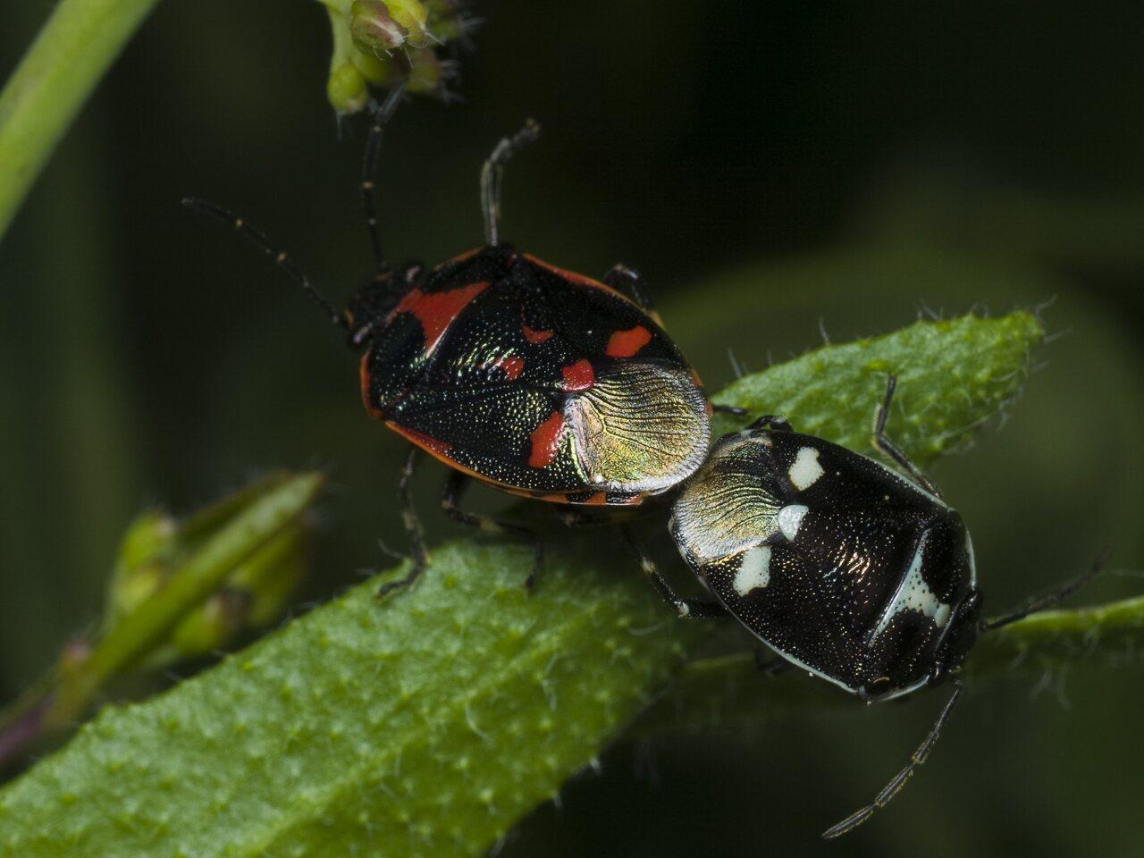 Eurydema-oleracea-1769.jpg