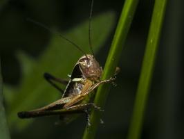Metrioptera roeseli · paprastasis spragtukas