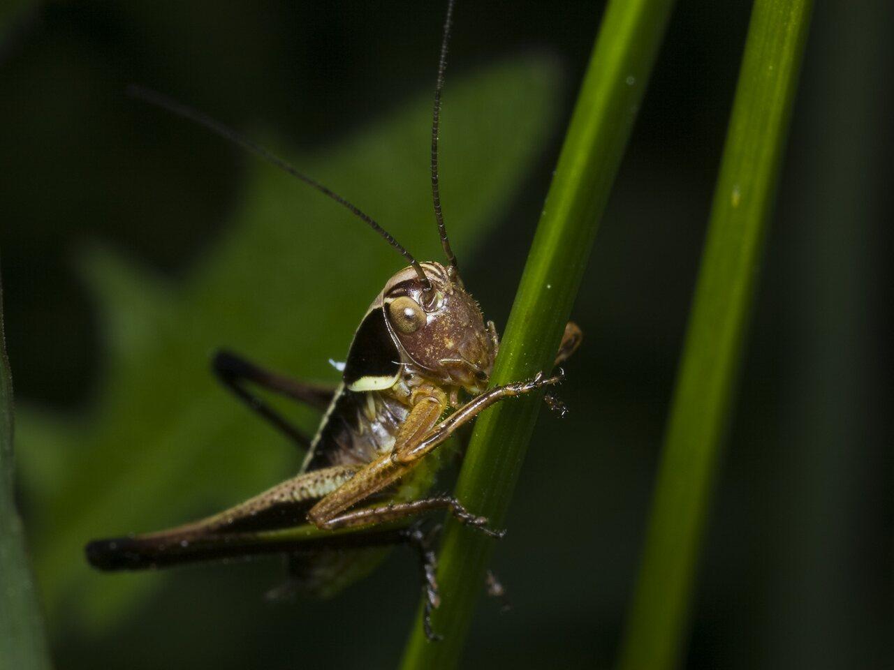 Metrioptera-roeseli-1771.jpg