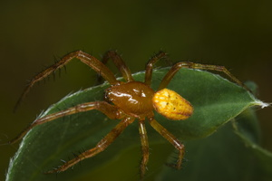Araneus alsine, male · rausvapilvis kryžiuotis ♂
