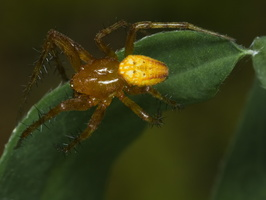 Araneus alsine · rausvapilvis kryžiuotis