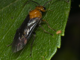 Hemichroa australis · pjūklelis