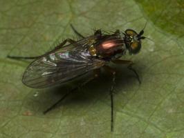 Diptera 1826