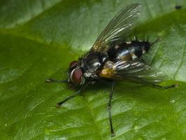 Tachinidae · dygliamusė
