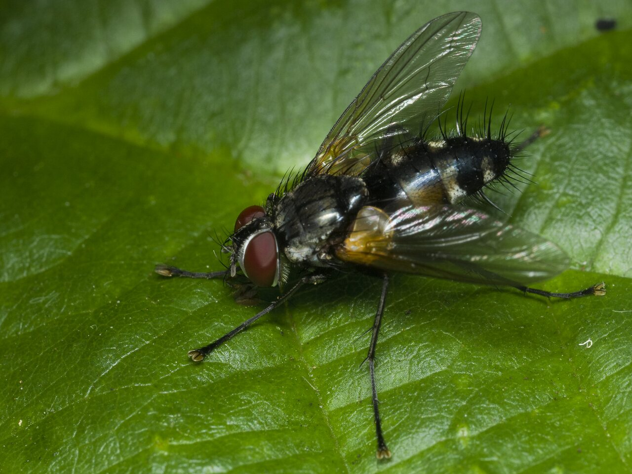 Tachinidae-1839.jpg