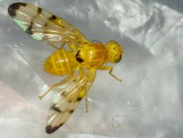 Acidia cognata · margasparnė