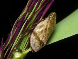 Lepyronia coleoptrata · putinė cikada