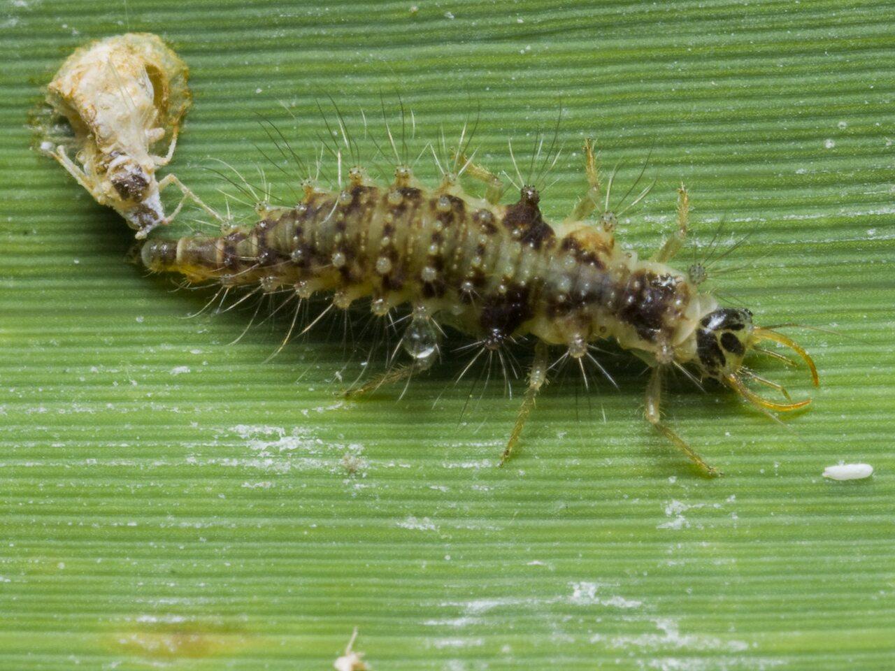 Chrysopidae-larva-1872.jpg