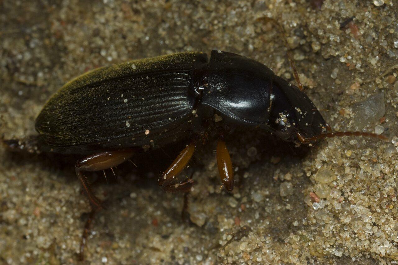 Pseudoophonus-rufipes-2056.jpg