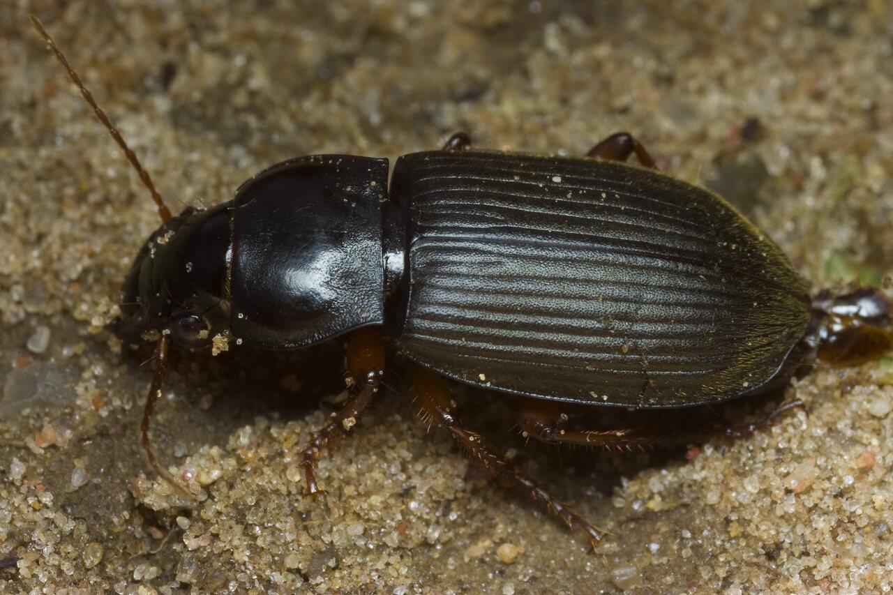 Pseudoophonus-rufipes-2057.jpg