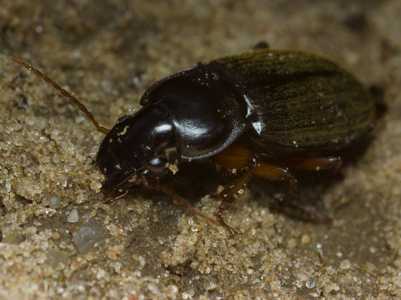 Pseudoophonus-rufipes-2058.jpg