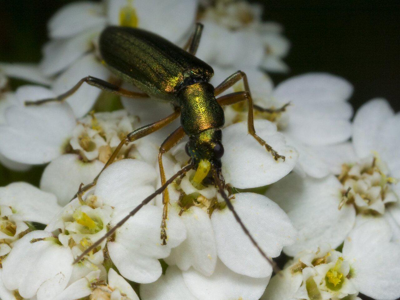 Chrysanthia-nigricornis-2072.jpg