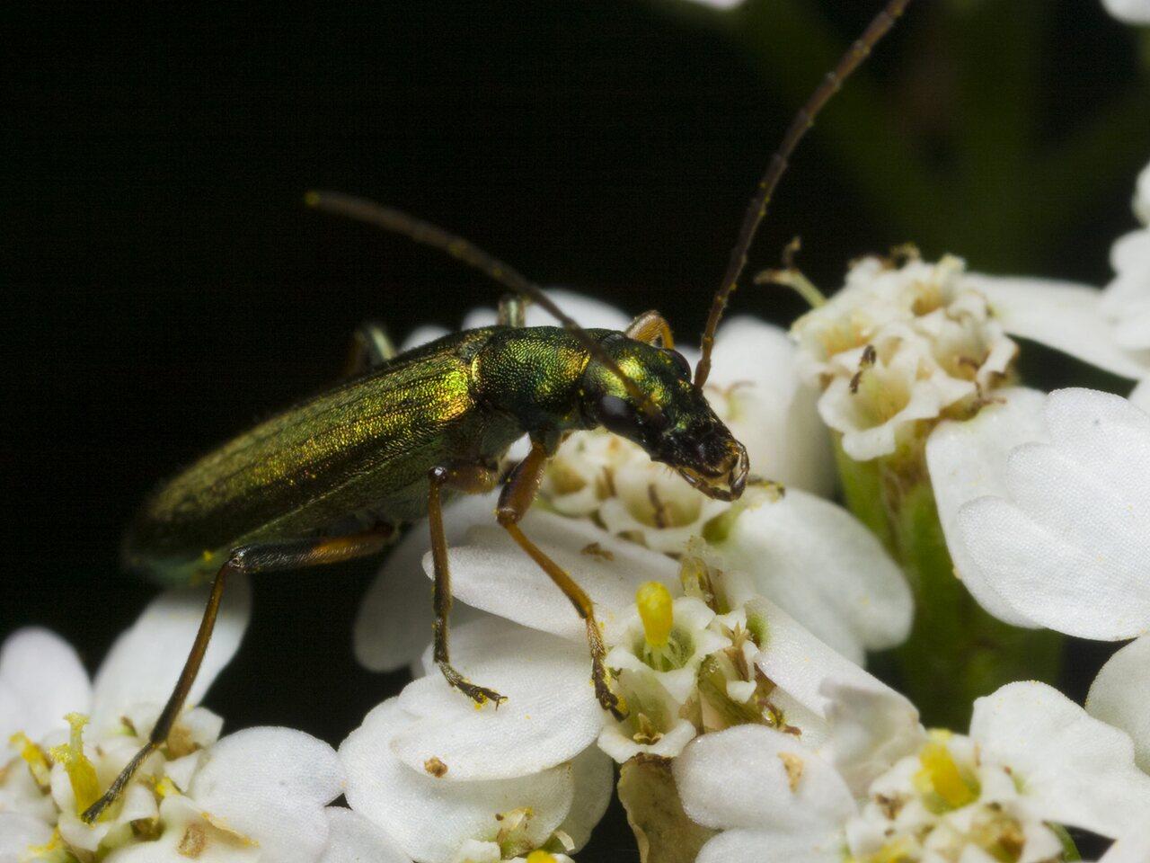 Chrysanthia-nigricornis-2075.jpg